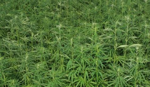 vaporizacia THC a CBD